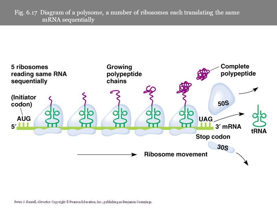 Fig. 6.17 Diagram of a polysome, a number of ribosomes each translating the same mRNA sequentially