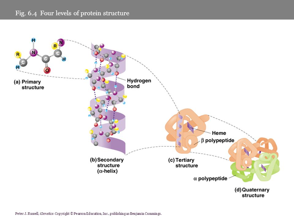 Fig. 6.4 Four levels of protein structure