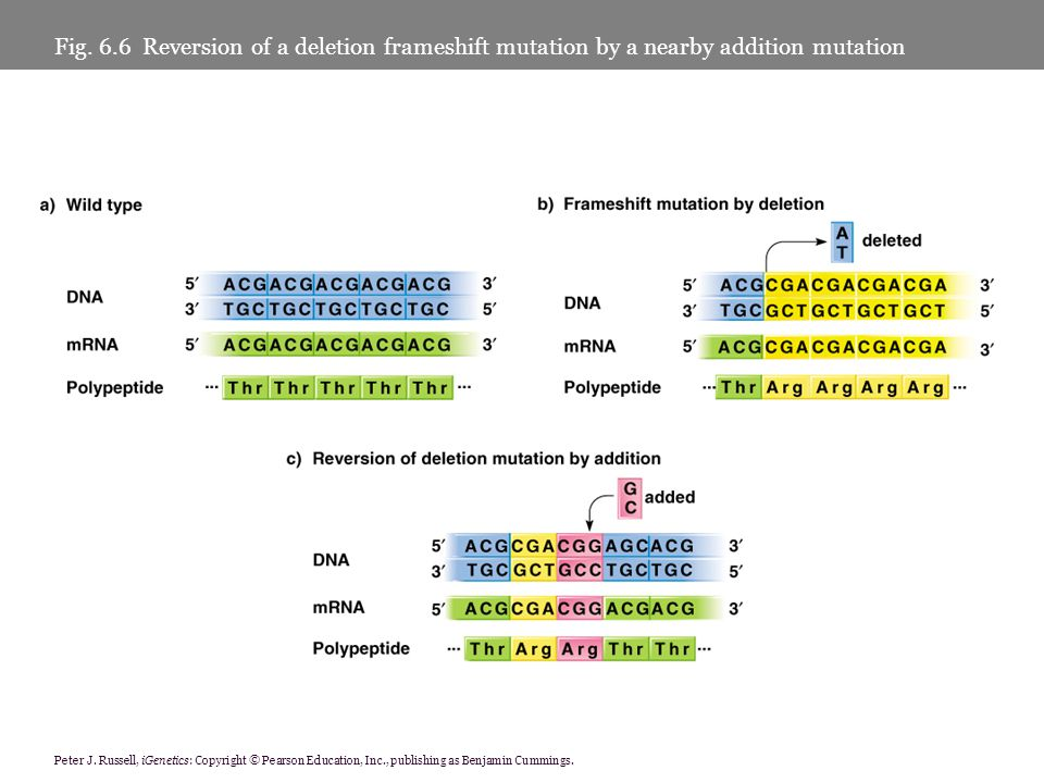 Fig. 6.6 Reversion of a deletion frameshift mutation by a nearby addition mutation