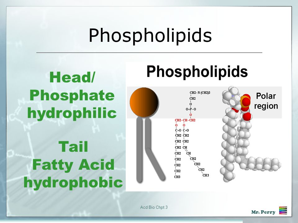 Phospholipids Head/ Phosphate hydrophilic Tail Fatty Acid hydrophobic