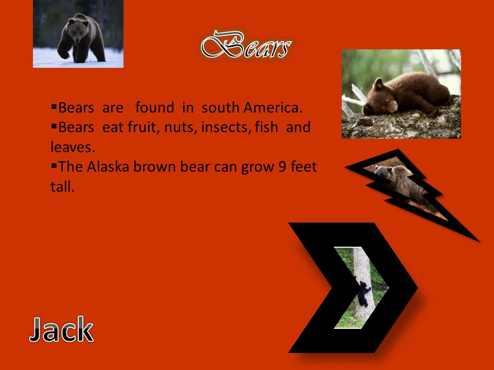 Bears Jack Bears are found in south America.
