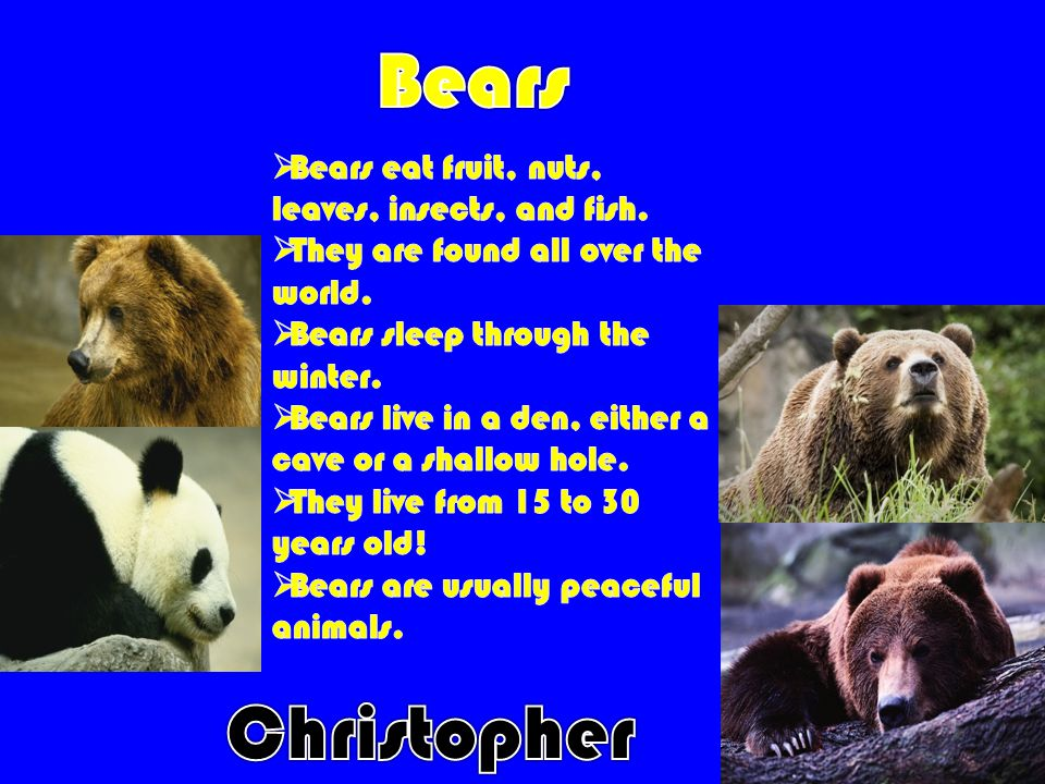 Bears Christopher Bears eat fruit, nuts, leaves, insects, and fish.