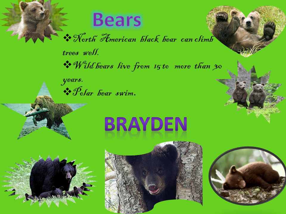 Bears BRAYDEN North American black bear can climb trees well.