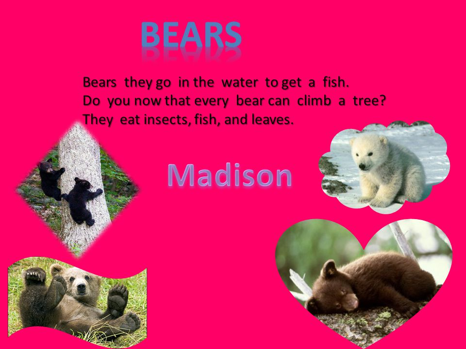 Madison Bears they go in the water to get a fish.