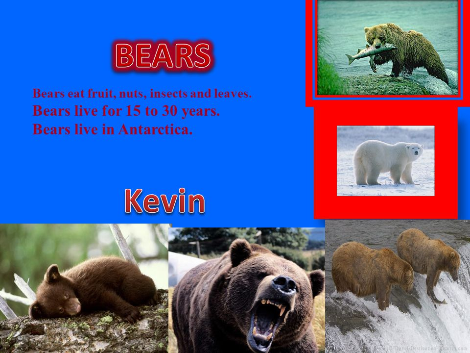 BEARS Kevin Bears live for 15 to 30 years. Bears live in Antarctica.