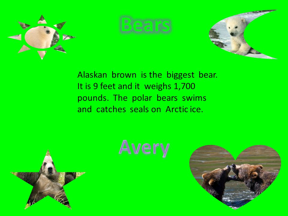 Bears Avery Alaskan brown is the biggest bear.