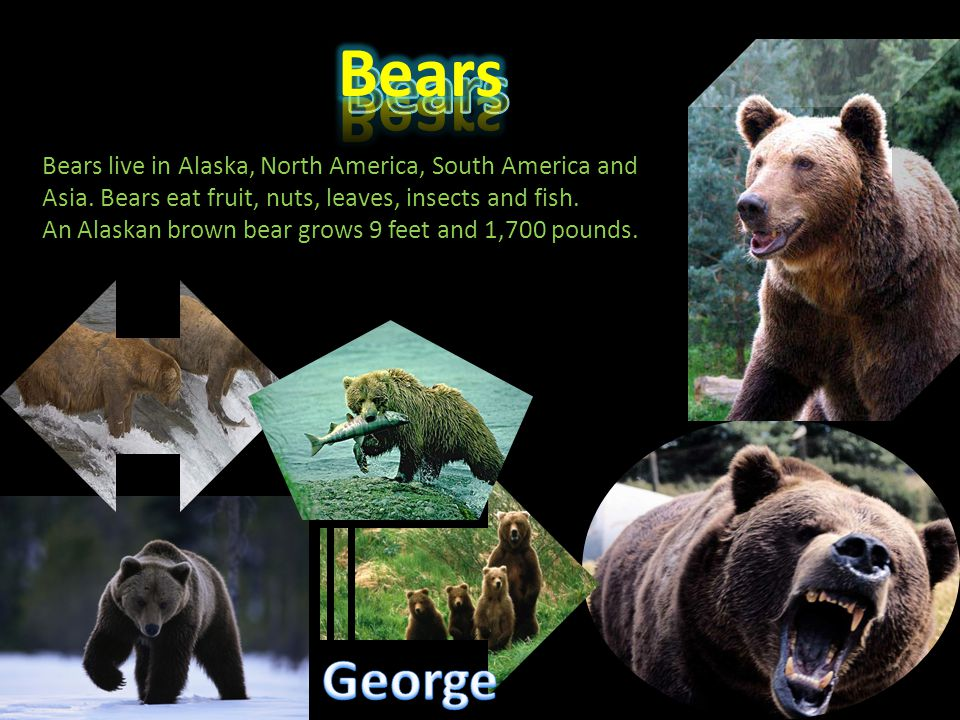 Bears Bears. Bears live in Alaska, North America, South America and Asia. Bears eat fruit, nuts, leaves, insects and fish.