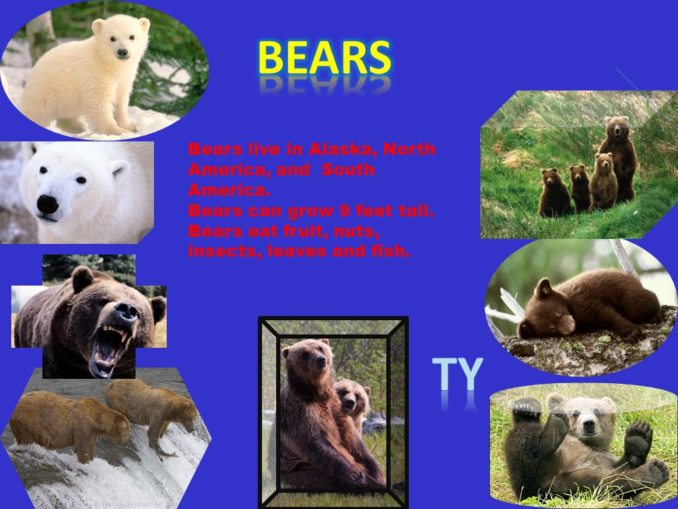 BEARS Ty Bears live in Alaska, North America, and South America.