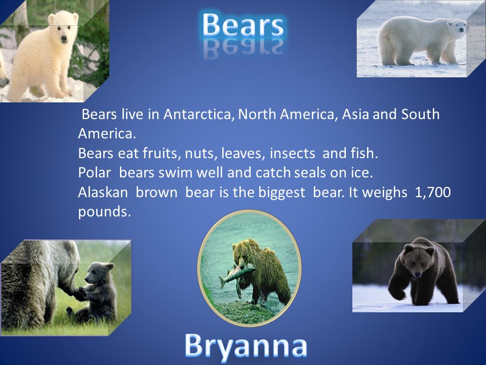 Bears Bears live in Antarctica, North America, Asia and South America. Bears eat fruits, nuts, leaves, insects and fish.