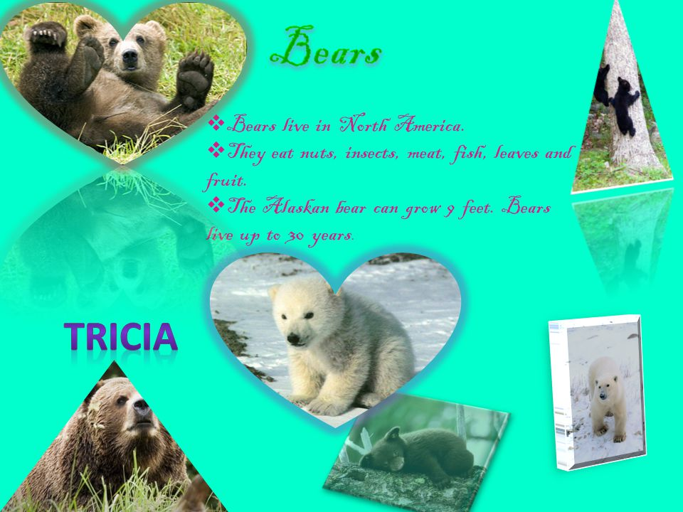 Bears Tricia Bears live in North America.
