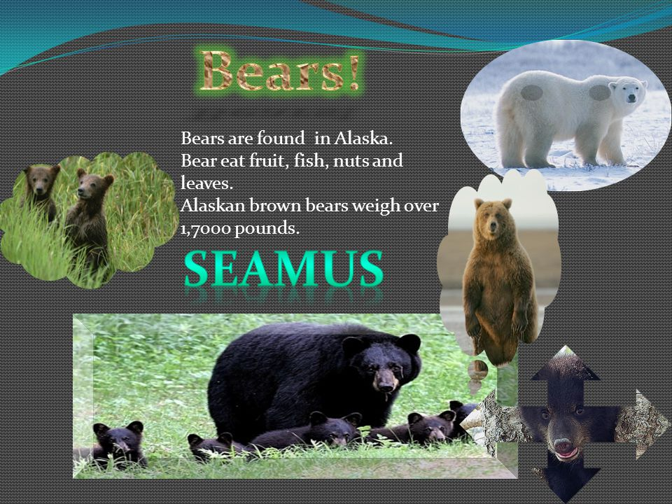 Bears! Seamus Bears are found in Alaska.