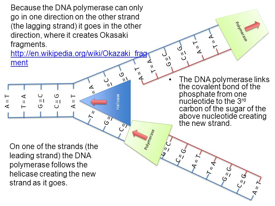 Because the DNA polymerase can only go in one direction on the other strand (the lagging strand) it goes in the other direction, where it creates Okasaki fragments. http://en.wikipedia.org/wiki/Okazaki_fragment