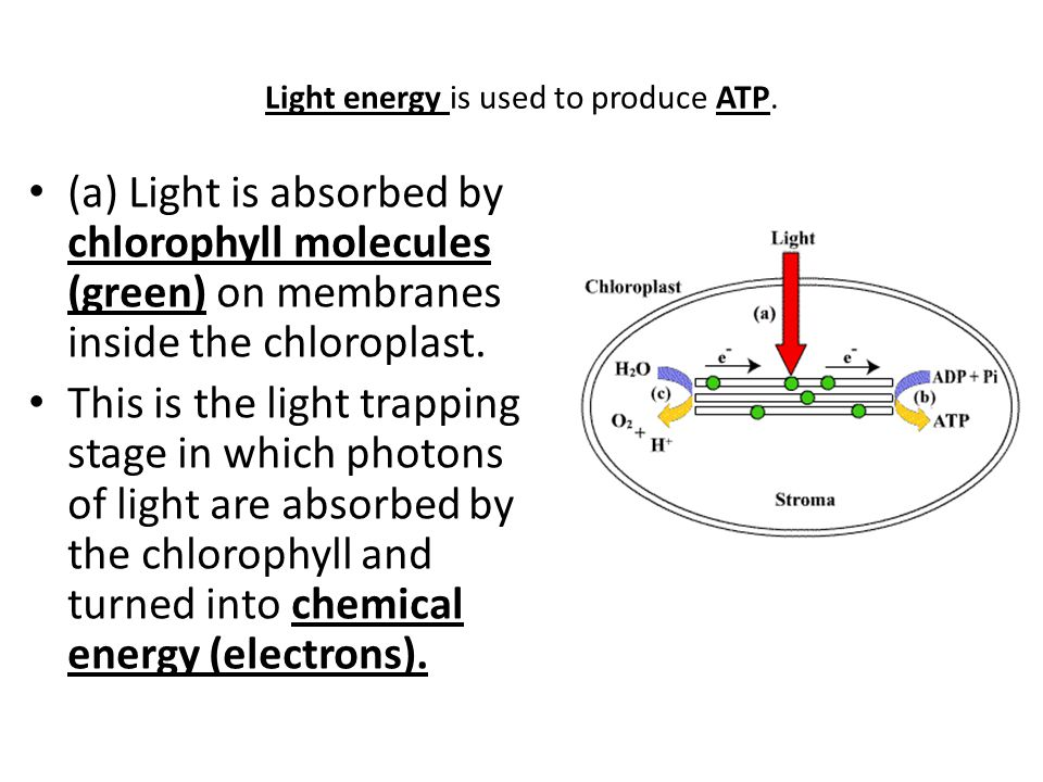 Light energy is used to produce ATP.