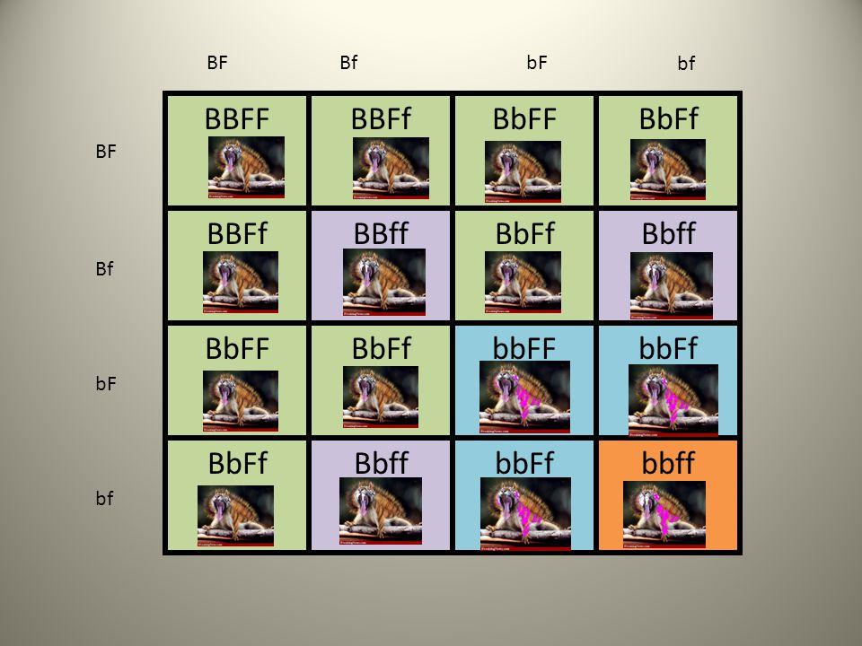 BF Bf bF bf BBFF BBFf BbFF BbFf BBff Bbff bbFF bbFf bbff BF Bf bF bf