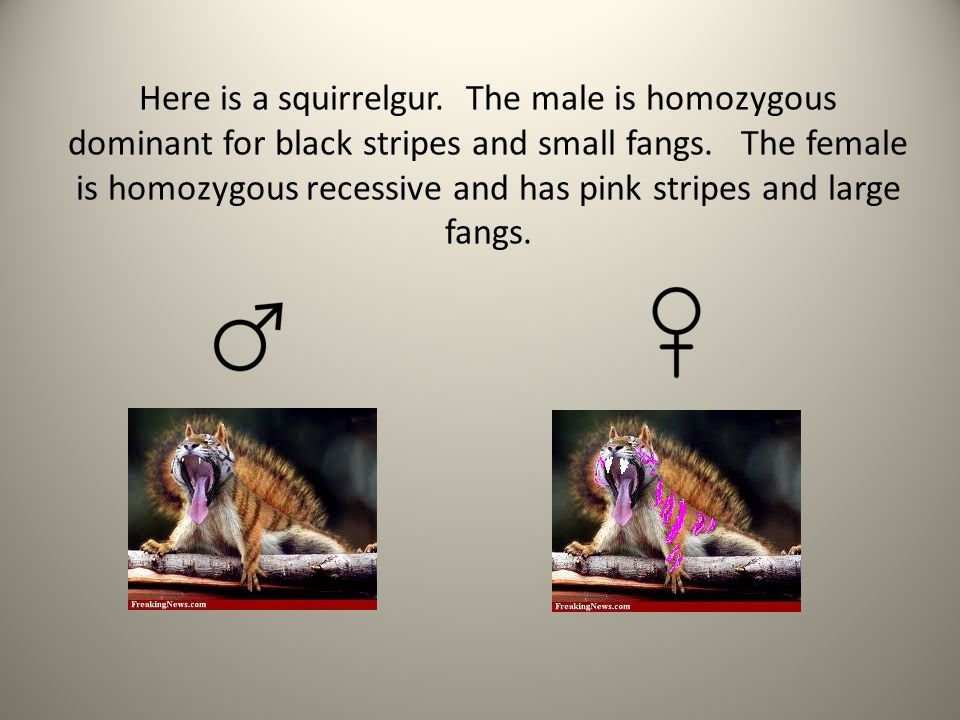 Here is a squirrelgur. The male is homozygous dominant for black stripes and small fangs.