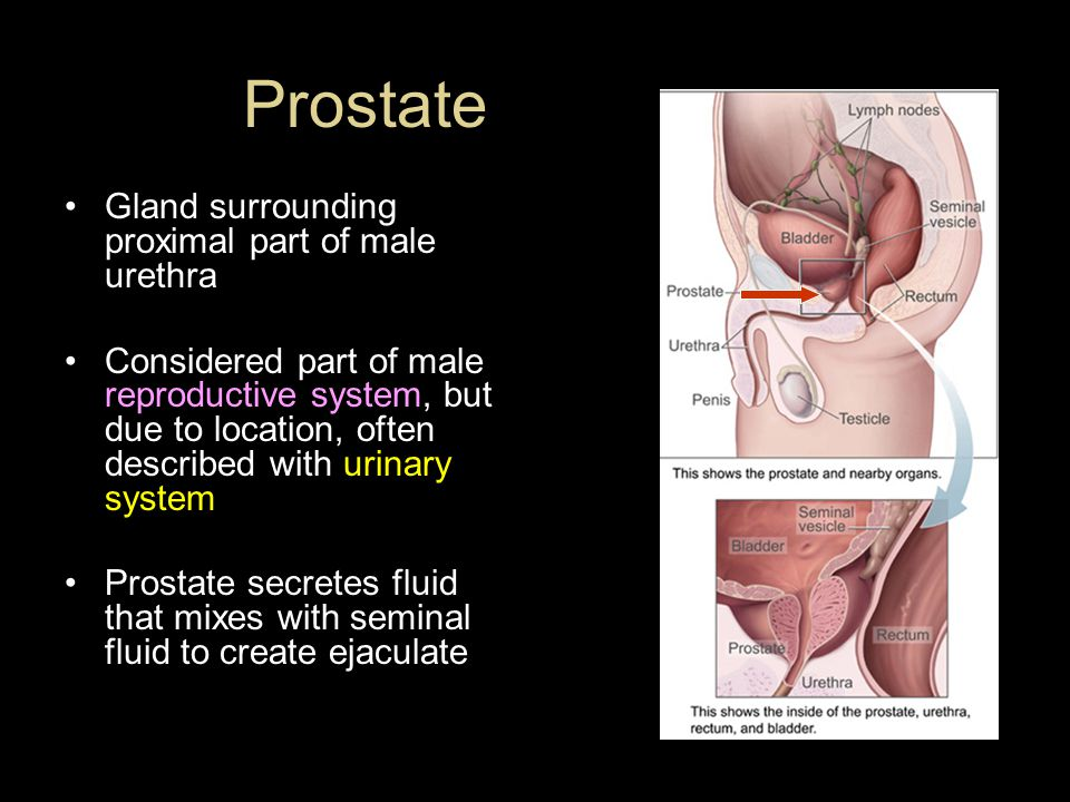 Prostate Gland surrounding proximal part of male urethra