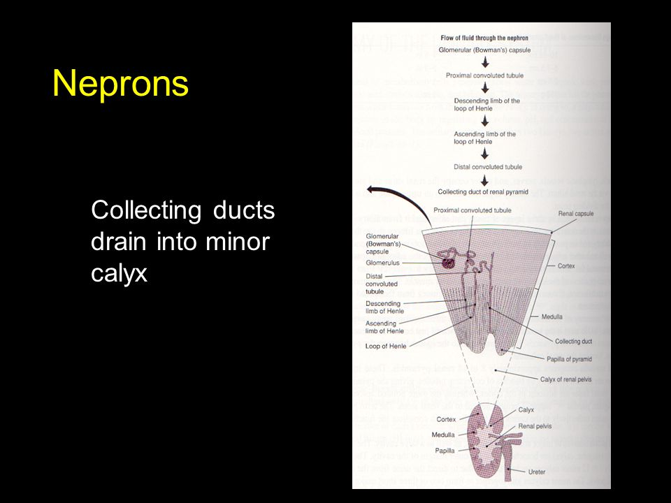 Neprons Collecting ducts drain into minor calyx