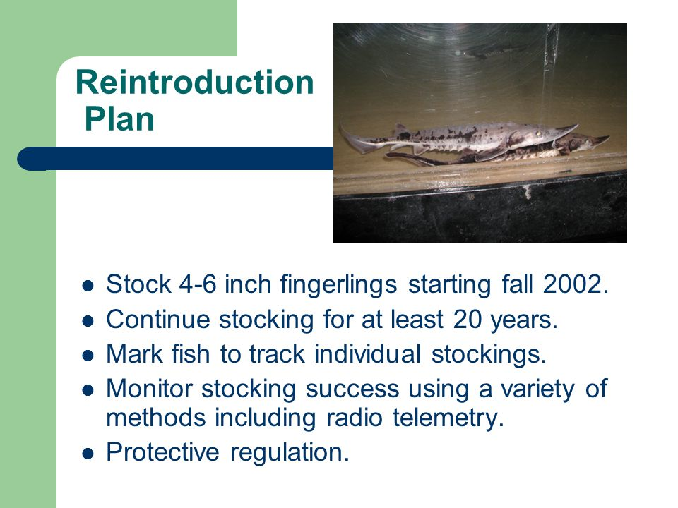 Reintroduction Plan Stock 4-6 inch fingerlings starting fall 2002.
