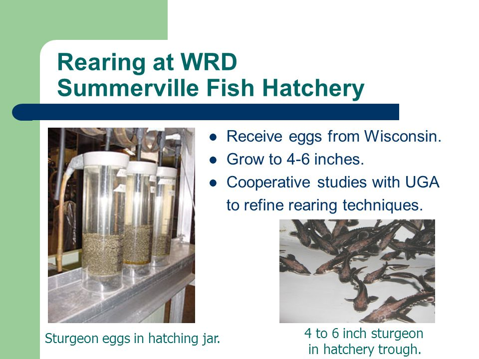 Rearing at WRD Summerville Fish Hatchery