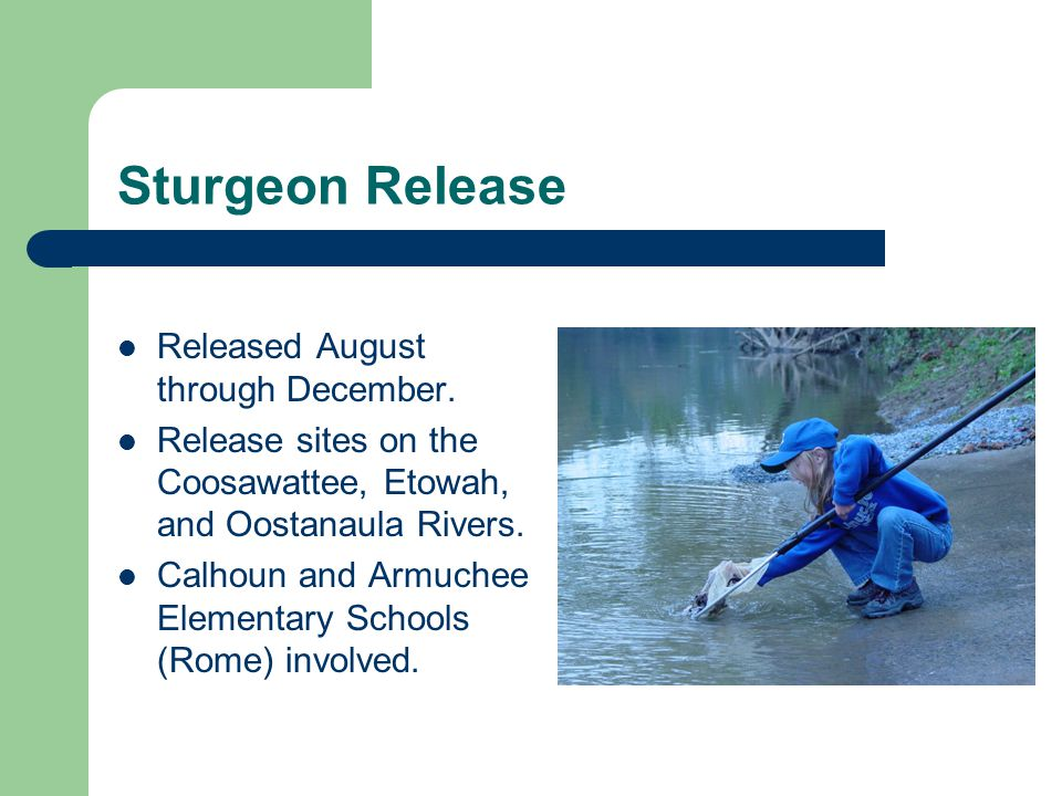 Sturgeon Release Released August through December.