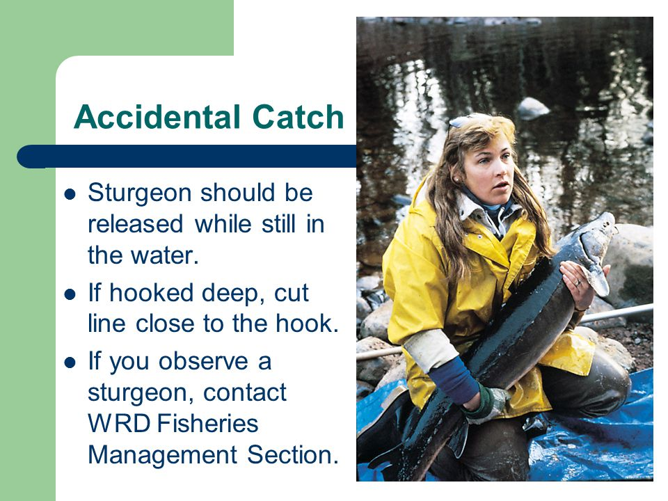 Accidental Catch Sturgeon should be released while still in the water.