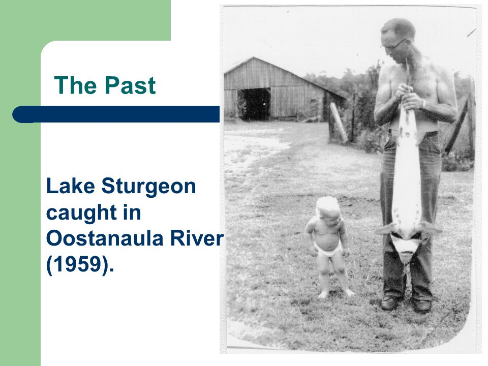 The Past Lake Sturgeon caught in Oostanaula River (1959).