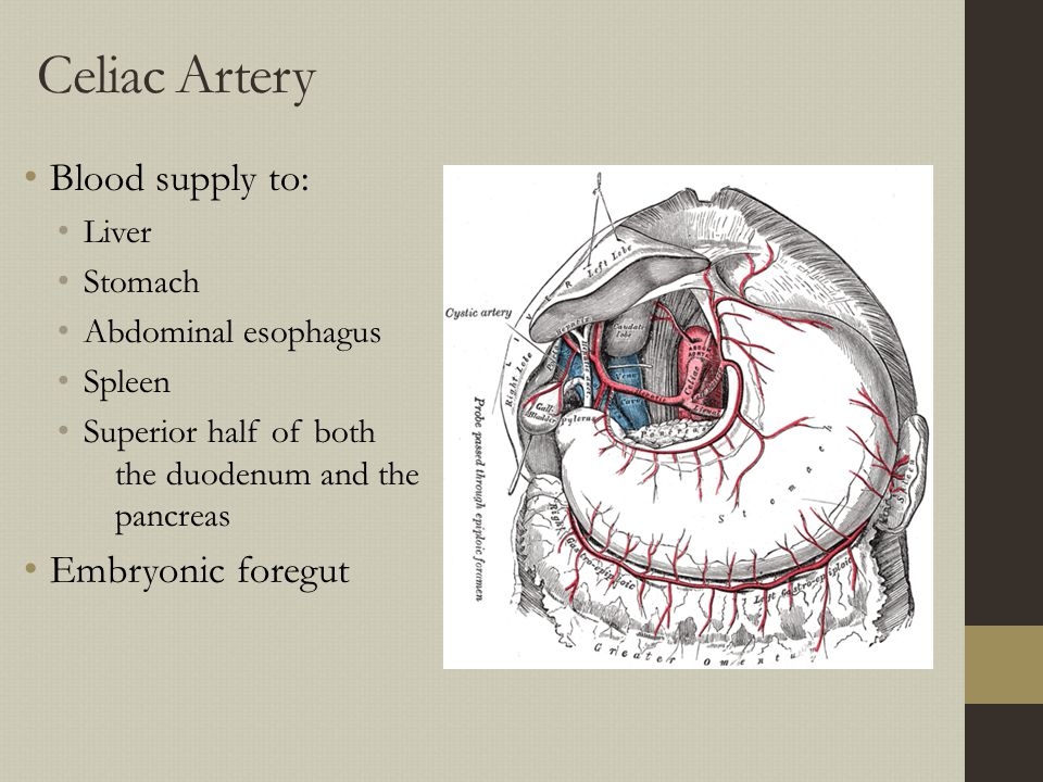 Celiac Artery Blood supply to: Embryonic foregut Liver Stomach