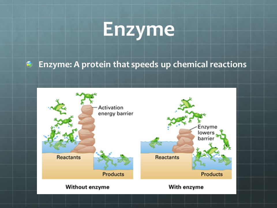 Enzyme Enzyme: A protein that speeds up chemical reactions