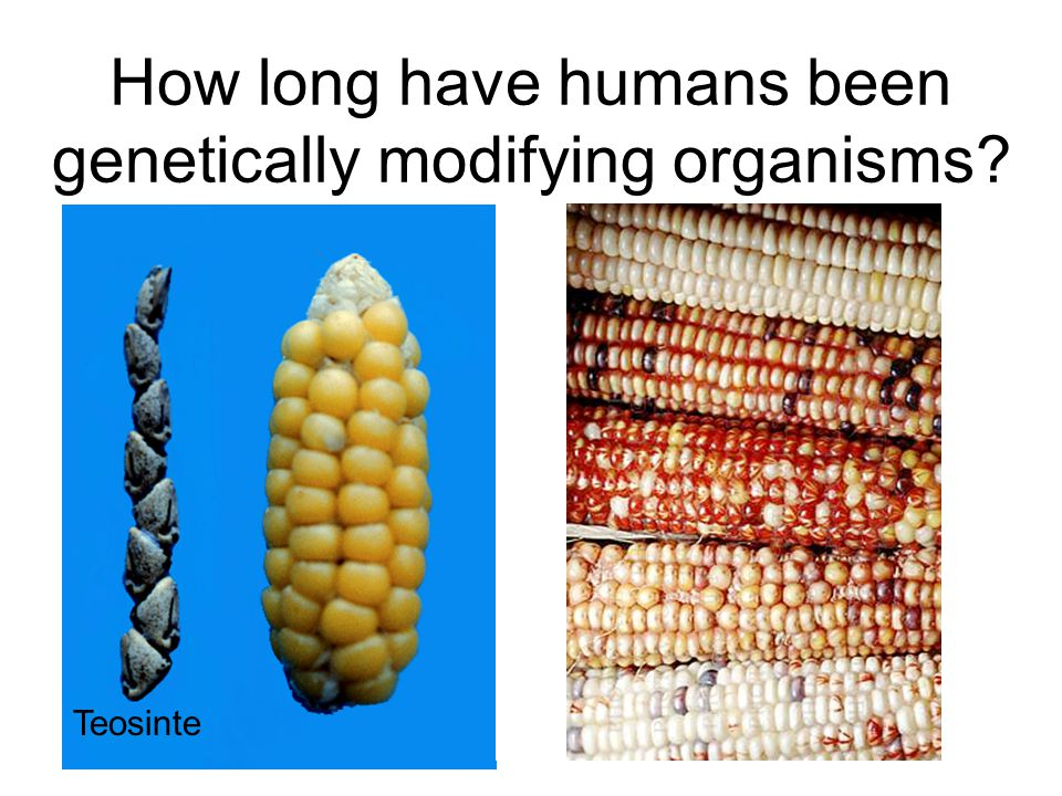 How long have humans been genetically modifying organisms