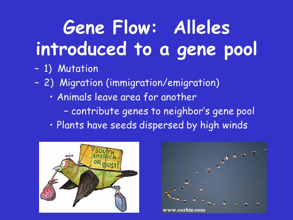 Gene Flow: Alleles introduced to a gene pool
