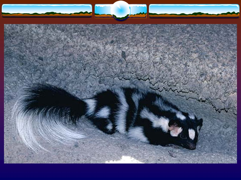 11. This spotted skunk is not causing any damage