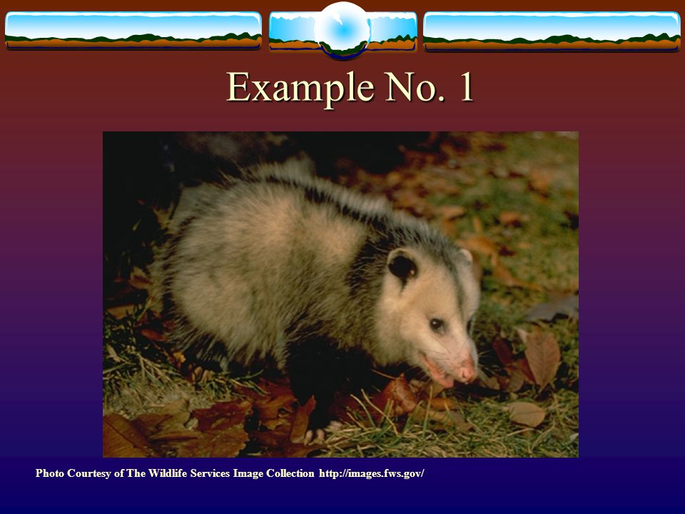 Example No. 1 32. Example No. 1- Opossum in shed/garage eating dog/cat food. Wrong Answer: Trap opossum and relocate.