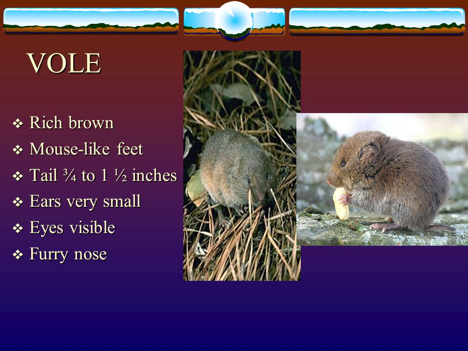 VOLE Rich brown Mouse-like feet Tail ¾ to 1 ½ inches Ears very small