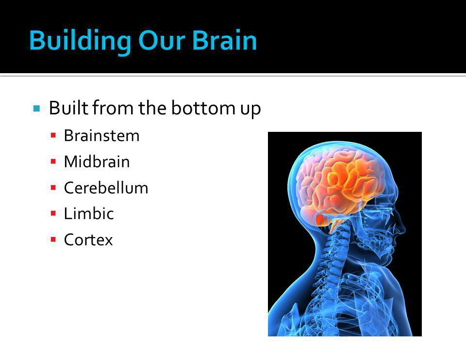 Building Our Brain Built from the bottom up Brainstem Midbrain