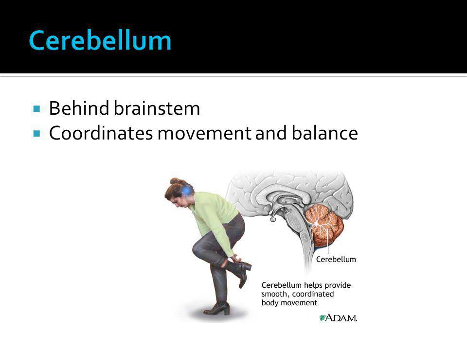 Cerebellum Behind brainstem Coordinates movement and balance