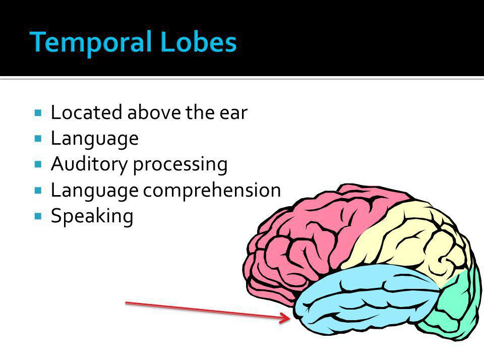 Temporal Lobes Located above the ear Language Auditory processing