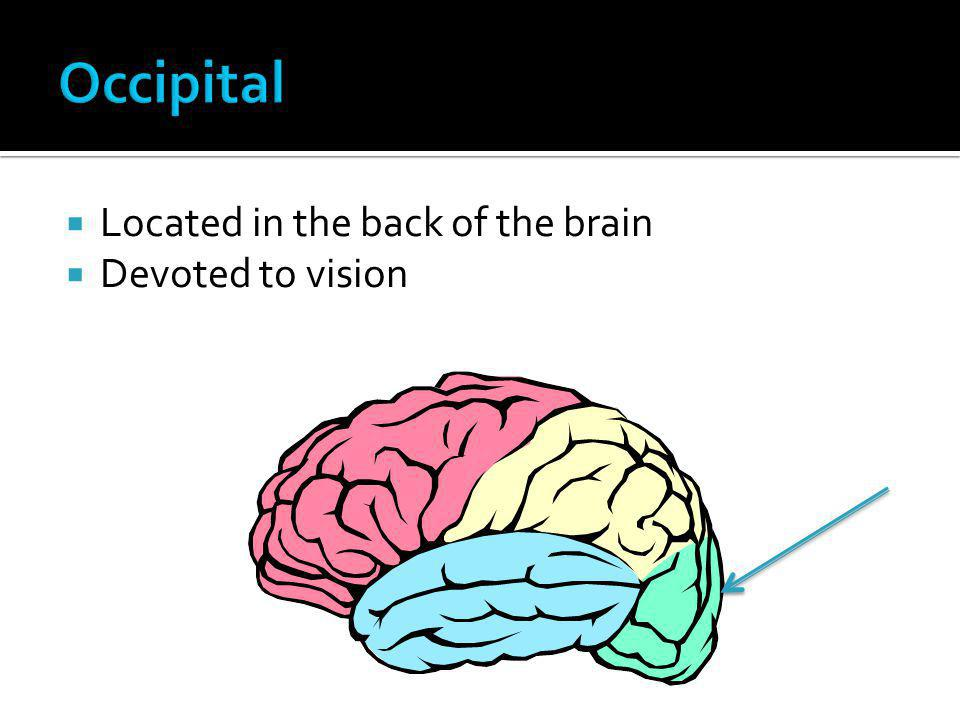 Occipital Located in the back of the brain Devoted to vision
