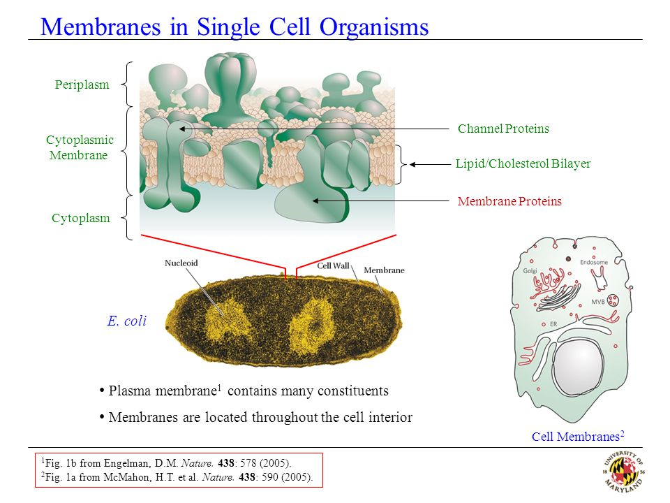 Membranes in Single Cell Organisms