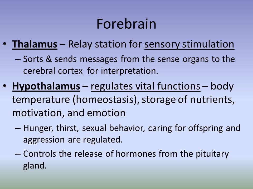 Forebrain Thalamus – Relay station for sensory stimulation