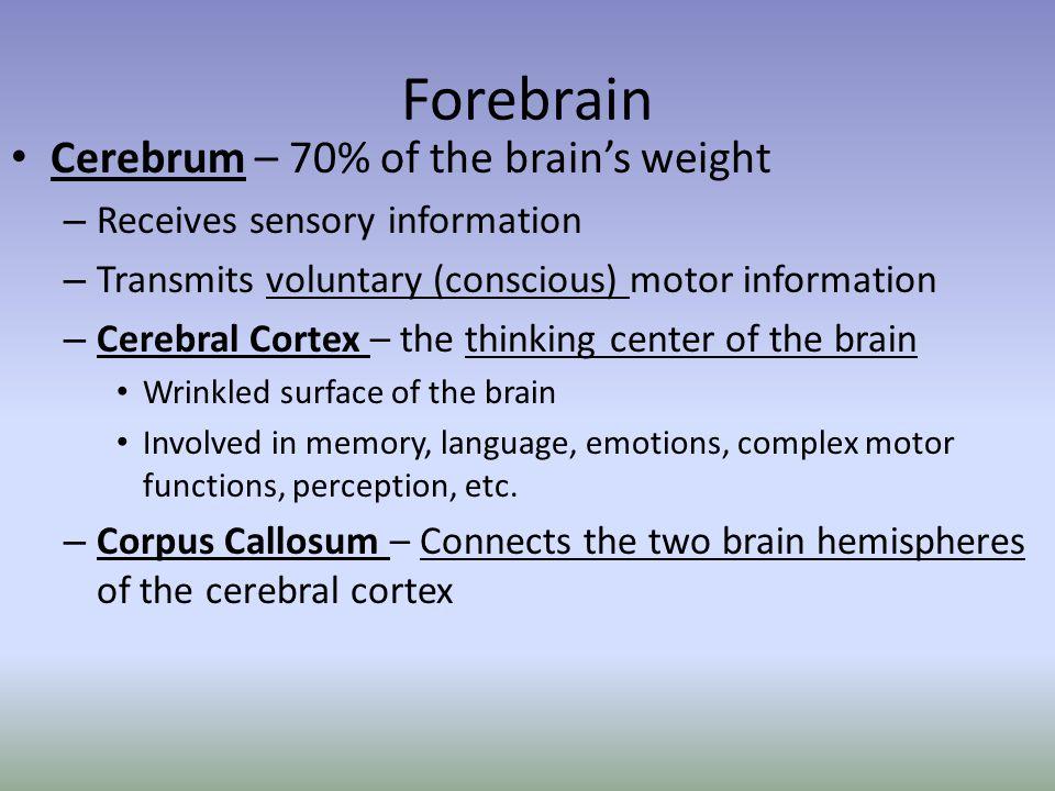 Forebrain Cerebrum – 70% of the brain's weight