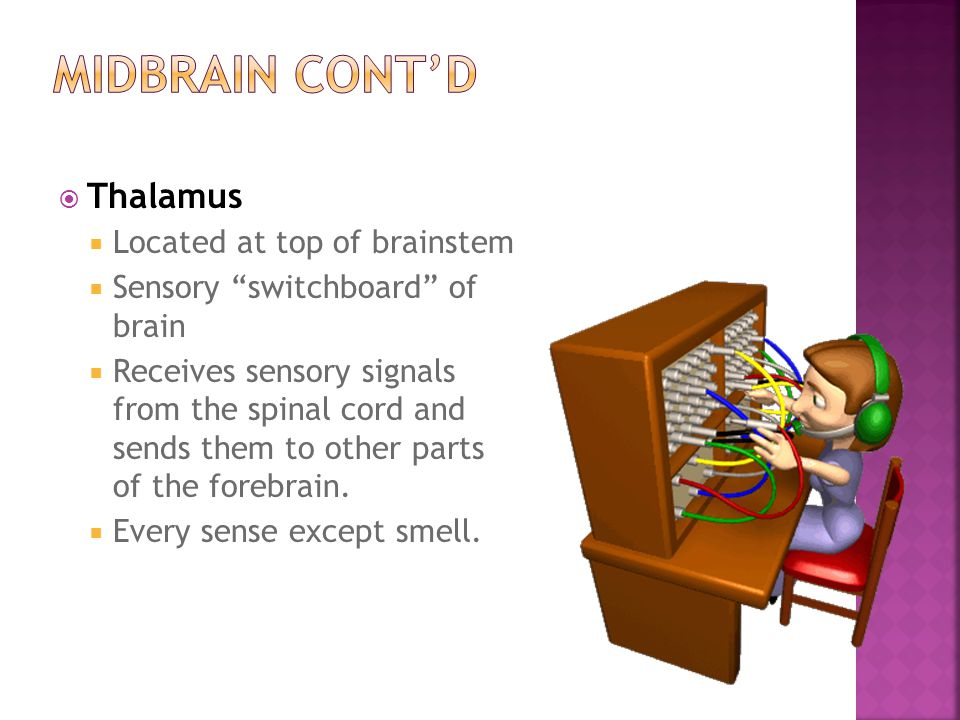 MIDBRAIN Cont'd Thalamus Located at top of brainstem