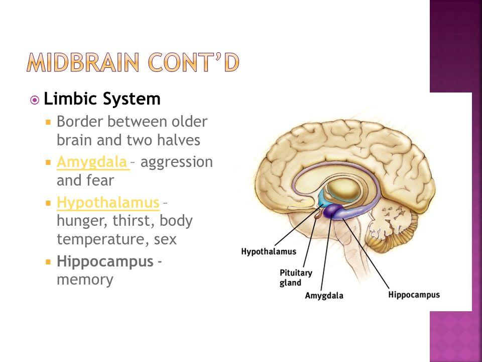 Midbrain cont'd Limbic System
