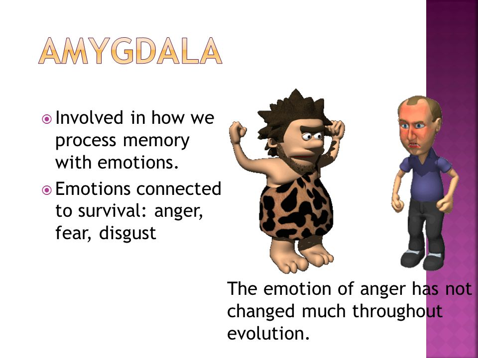Amygdala Involved in how we process memory with emotions.