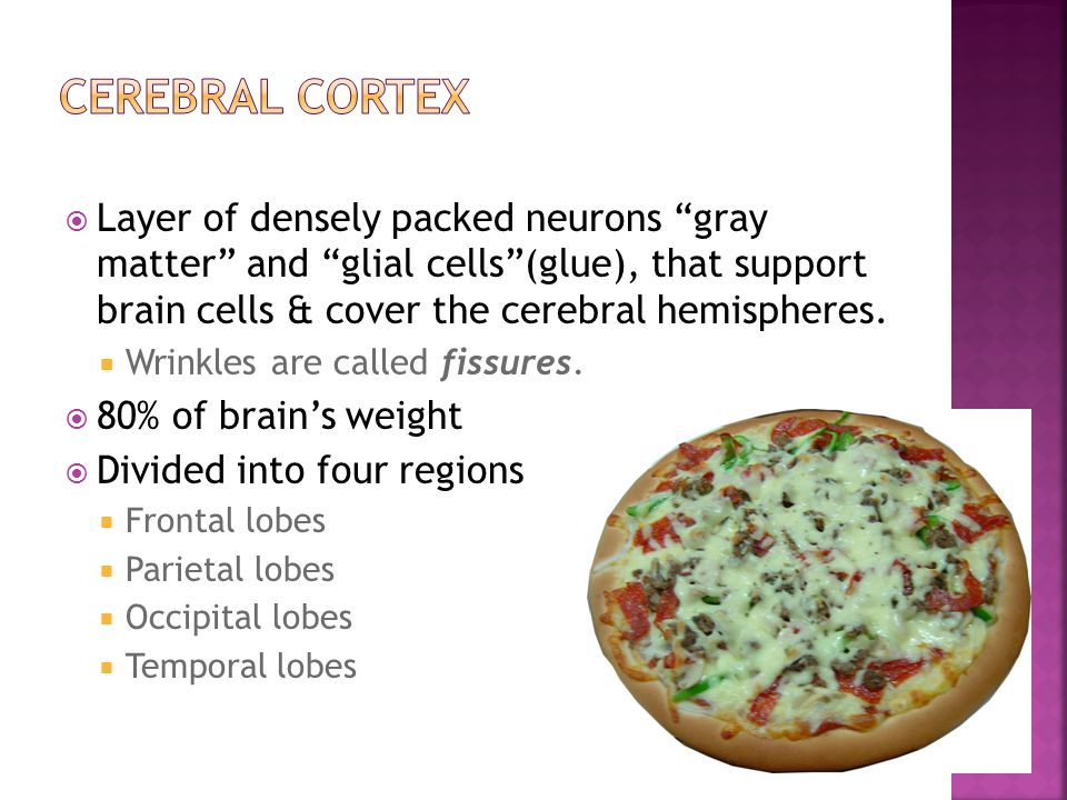 CEREBRAL CORTEX Layer of densely packed neurons gray matter and glial cells (glue), that support brain cells & cover the cerebral hemispheres.
