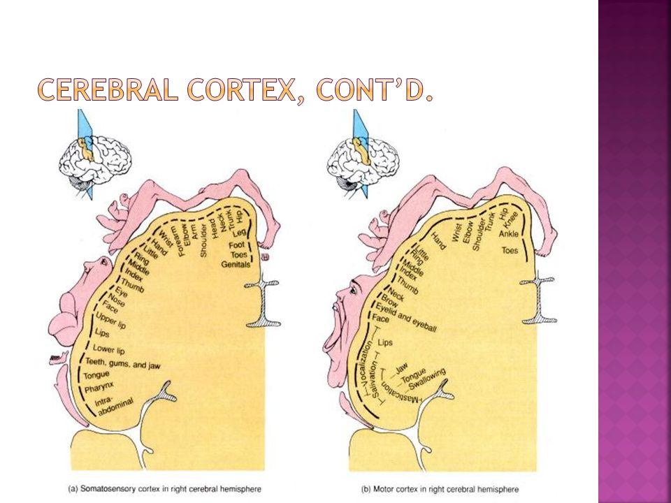 CEREBRAL CORTEX, CONT'd.
