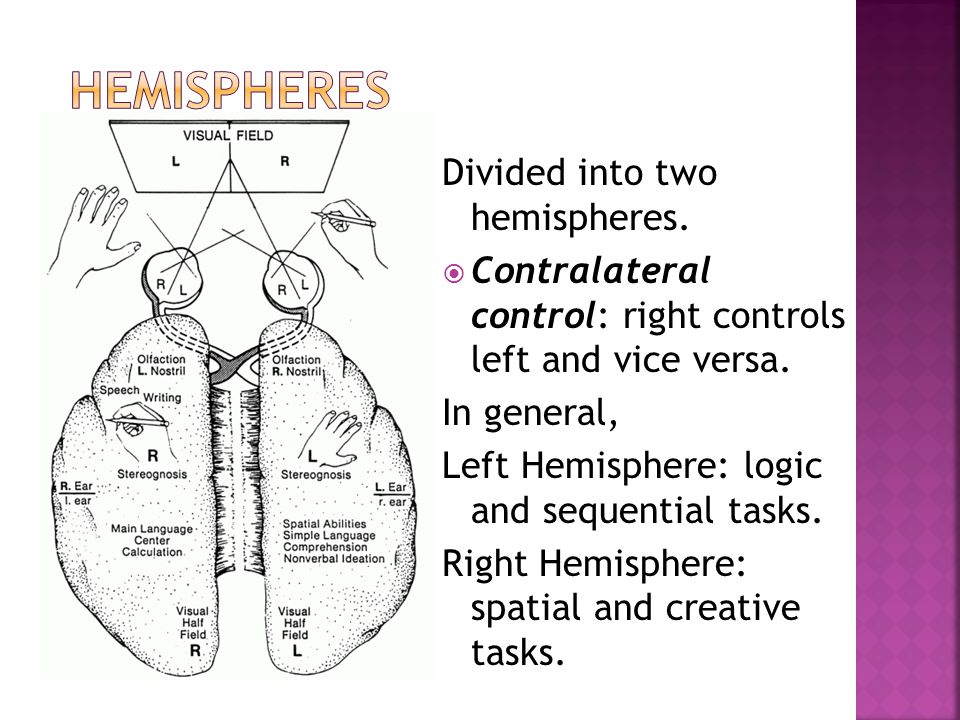 Hemispheres Divided into two hemispheres.