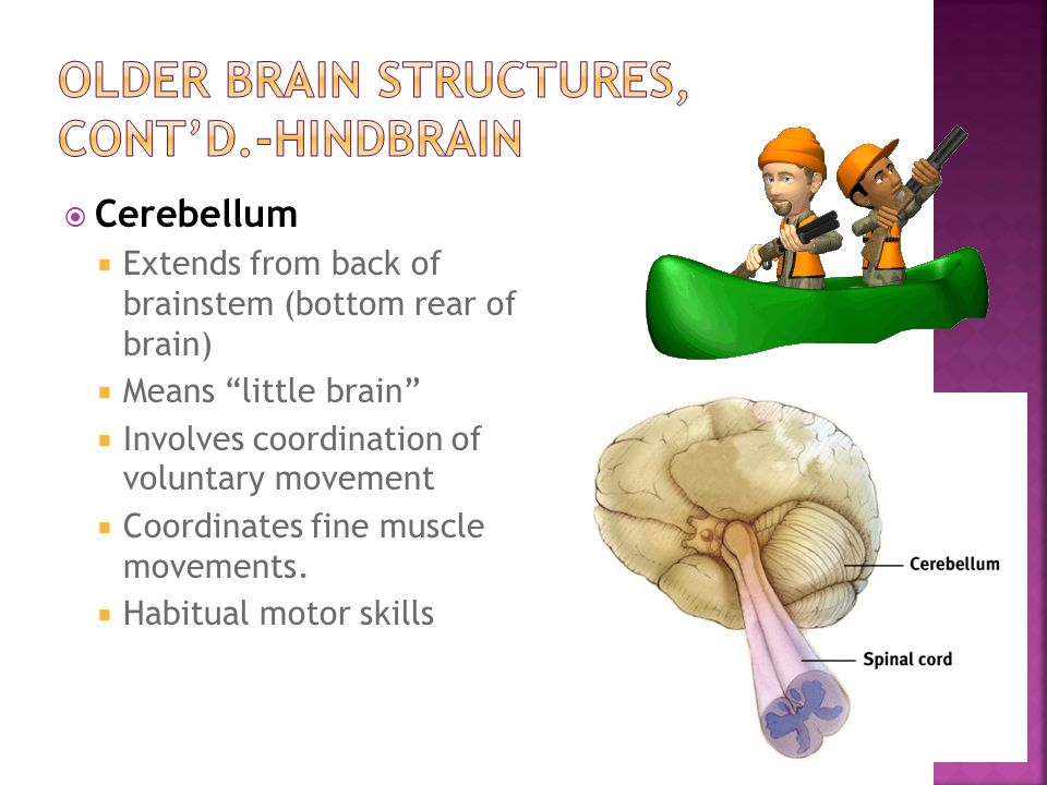 Older Brain Structures, cont'd.-hindbrain