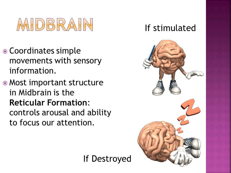 Midbrain If stimulated If Destroyed