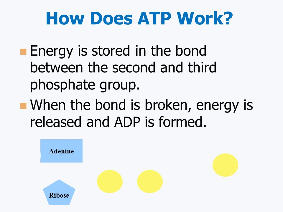 How Does ATP Work Energy is stored in the bond between the second and third phosphate group.