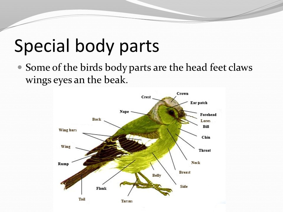 Special body parts Some of the birds body parts are the head feet claws wings eyes an the beak.